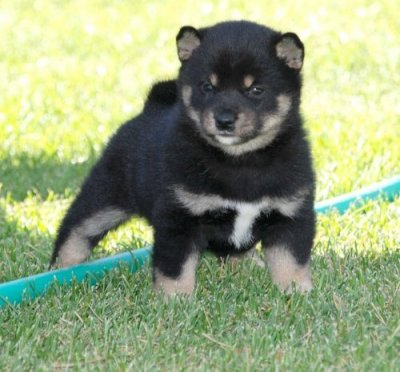 Shiba  Puppies on Excellenmt Shiba Inu Puppies For X Mas Enfield 28296406