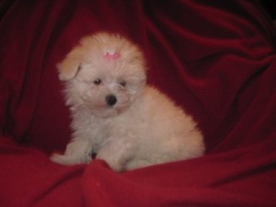 teacup maltipoo puppies females and males_Birmingham