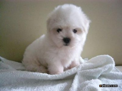 french poodle mini mini toy hermosisimos Bogota 28920568