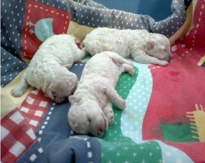 PUPPY CARE Teacup Poodles, Poodle Puppies, Tiny Toy Poodles, Toy