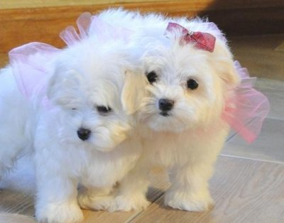 Teacup Maltese Puppies on Dogs In Islington   Teacup Maltese Puppies Looking For A New Home