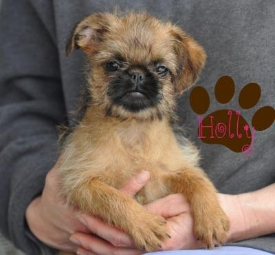 Brussels Griffon Puppies on Ukc Registered Brussels Griffon Puppies For Sale Waltham Forest