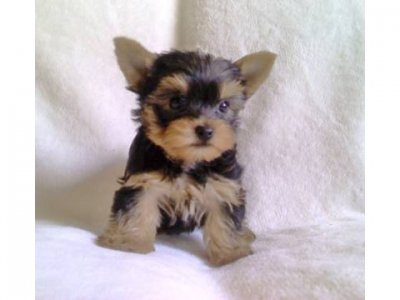 Teacup Yorkie Puppies on Dogs In Manitoba   Exquisite Tiny Teacup Yorkie Puppies